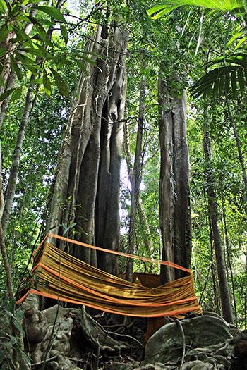 A Koh Kood, vous pourrez admirer deux arbres multicentenaires au centre de l'île.