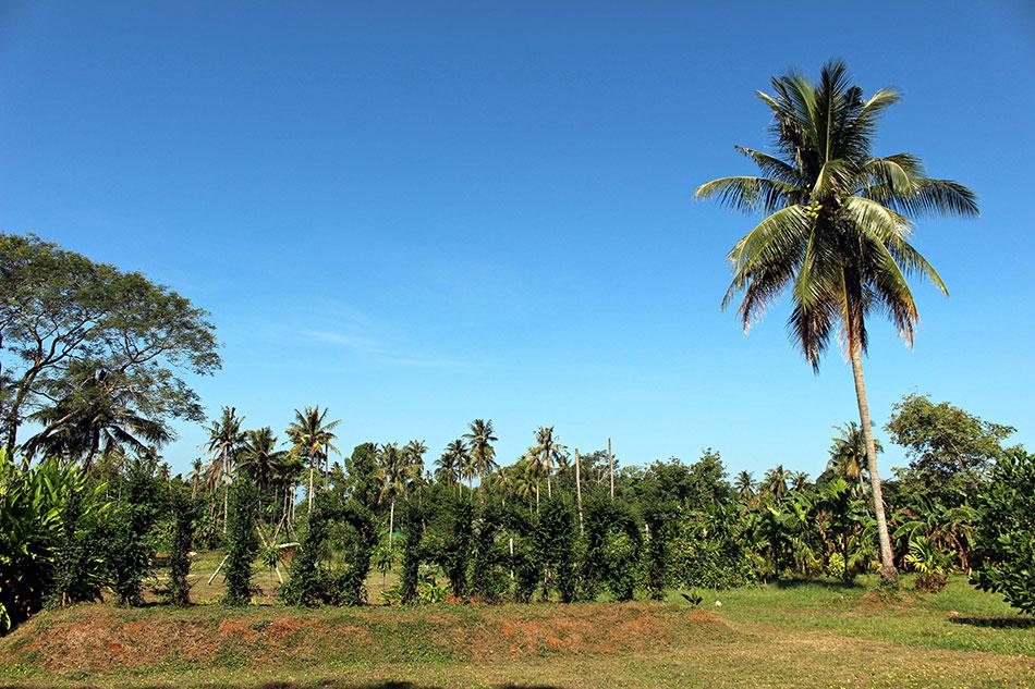 A Koh Mak, il existe des fermes biologiques où vous pourrez aller manger, boire un jus, ou vous porter volontaire.