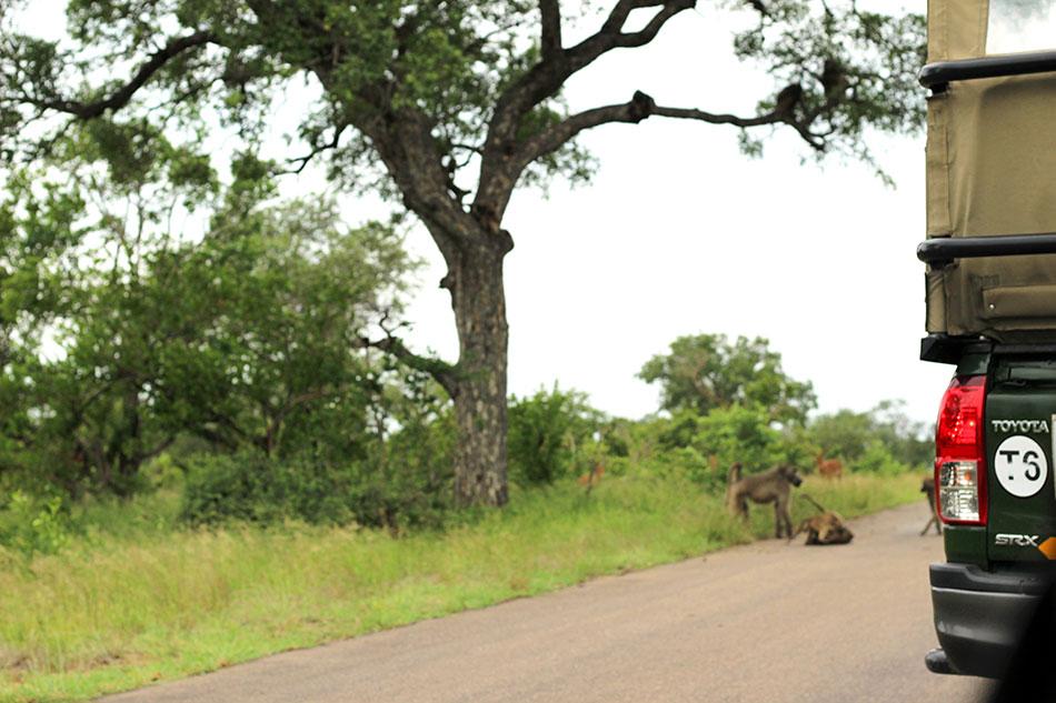 Route bloquée par des babouins dans le parc Kruger en Afrique du Sud