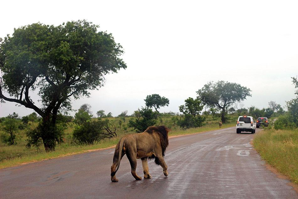 Voiture et lion dans le parc Kruger en Afrique du Sud